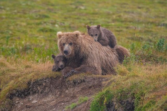 cubs, sow, mother, Katmai, bears, , Bear, grizzle, fishing, salmon, Grizzly Bear Photograph, Grizzly bear picture, Grizzly bear print