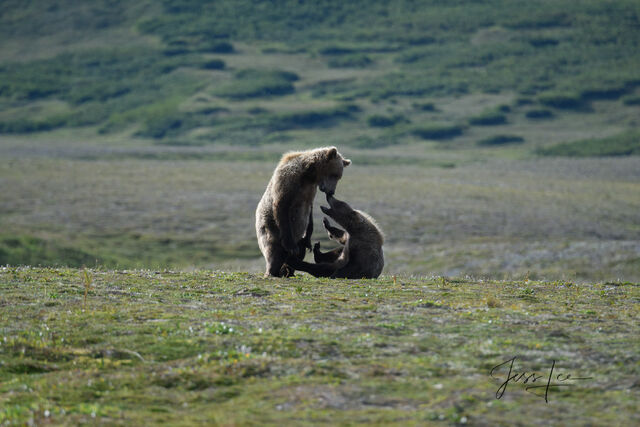 picture of Grizzly Bears fighting