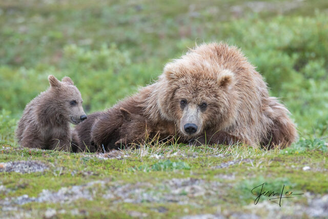 cubs, sow, mother, Katmai, bears, , Grizzly Bear Photograph, Grizzly bear picture, Grizzly bear print