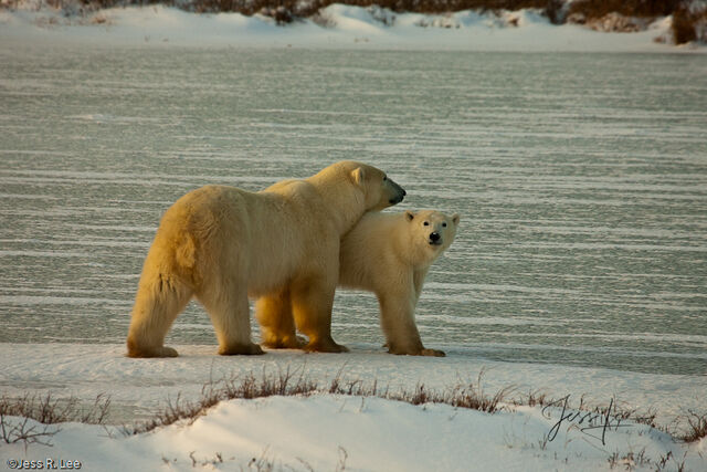 Canada, Hudsons bay, arctic, arctic.Cananda, bear, bears, churchill, mammal, manatoba, marine, polar, polar bear, polar bears, arctic Canada, Manitoba