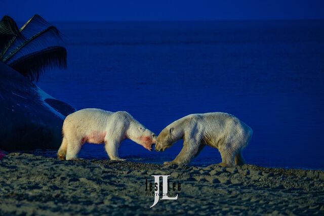 arctic, arctic National wildlife refuge, bear, bears, churchill, mammal, Alaska, marine, polar, polar bear, polar bears, ANWR,