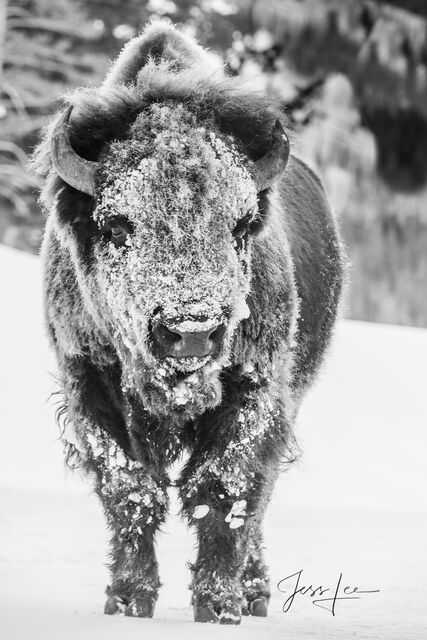 Frosty Buffalo frozen with ice,