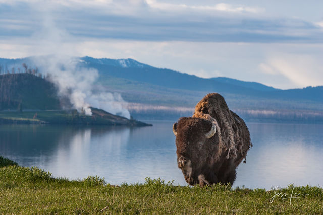 Bison near Yellowstone Lake,