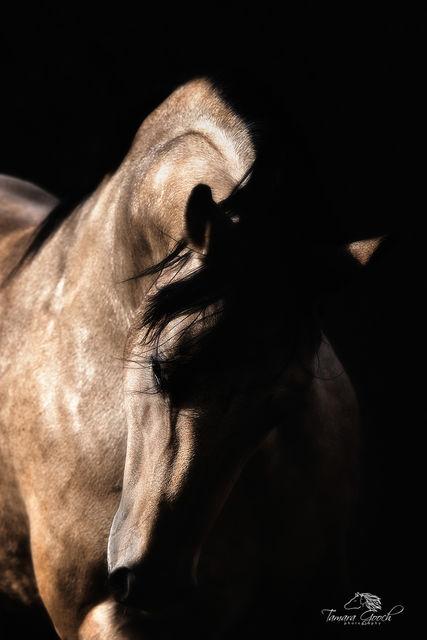 Buckskin Stallion Photo TDG2047_5459