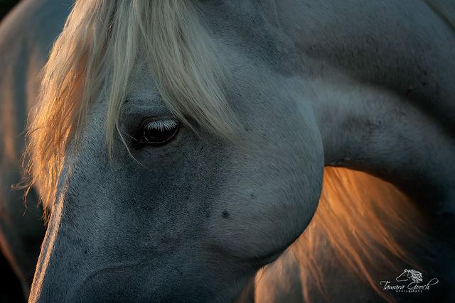 Camargue Horse Portrait FPW_7828