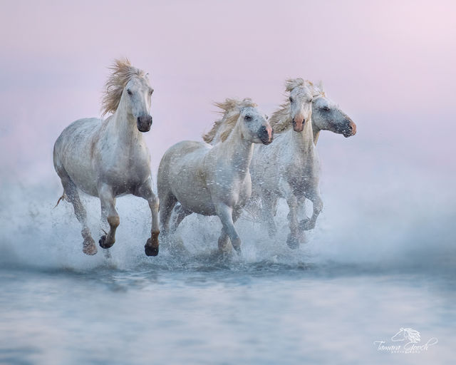 Camargue White Horses Photo FPW_9026