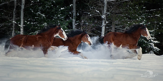 Clydesdale Horses in the Snow Photo CITS_4358