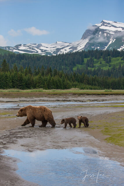 Picture of Grizzly Bear cubs