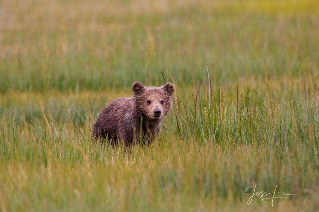 Picture of Grizzly Bear cub
