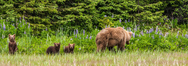 Picture of Grizzly bear and cubs