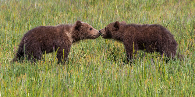 """Picture of Grizzly Bear cubs , Limited Edition Fine Art Photography Print From Jess Lee""""s Bear Photo Gallery"""