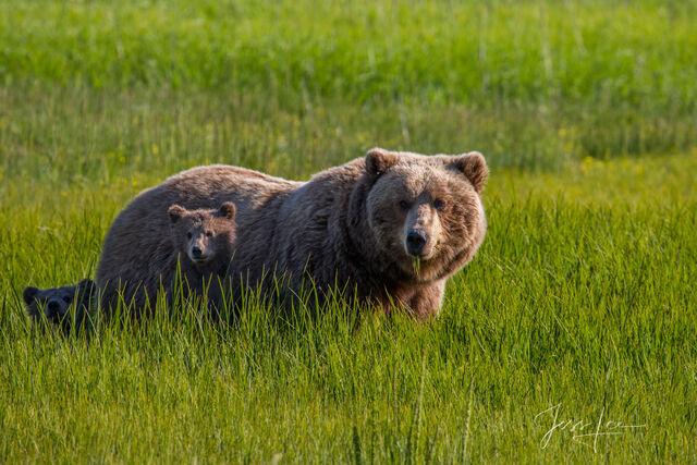 Picture of a Grizzly Bear and cub in Lake Clark National Park, Alaska