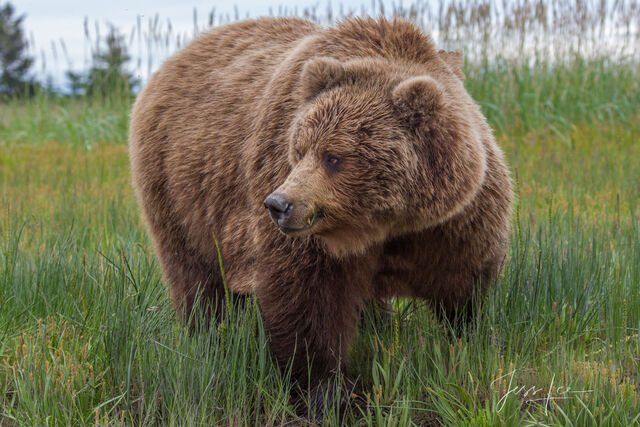 Grizzly Bear looking to the side