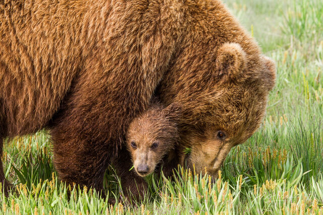 Grizzly,  Bear Photo