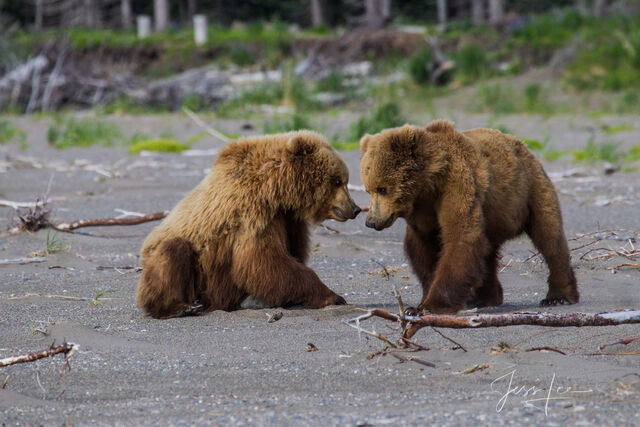 Picture of Grizzly Bear cubs playing tug-of-war
