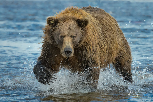 Fishing Brown/grizzly bear picture