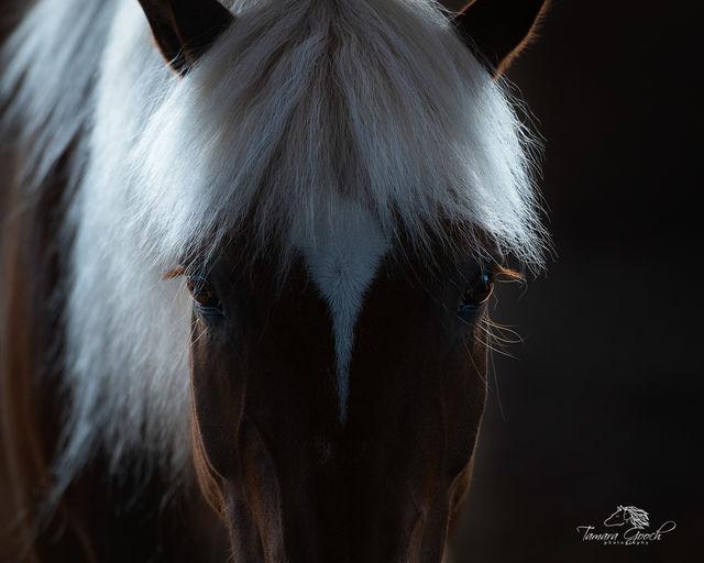 Hafliinger Horse Pippen Photo EPW2_3185