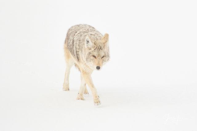 Fox Photography | Coyote Photos | Prints of Predators