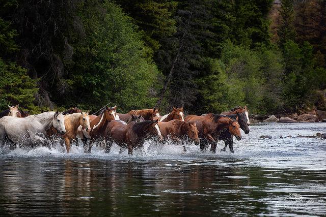 Horses Crossing a River Photo KBZ_4923