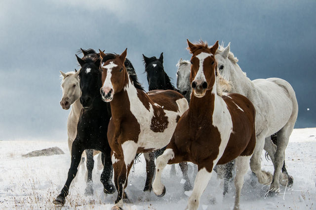 Paint Horses in the snow