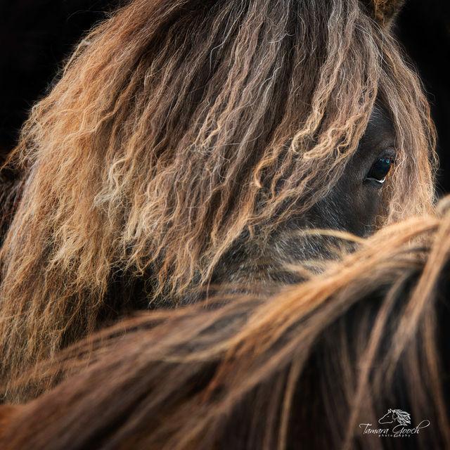 Icelandic Horse Photo IPW_0337