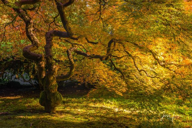 Photographic Prints of the Golden Glow of this famous Maple in the Portland Japanese Garden,