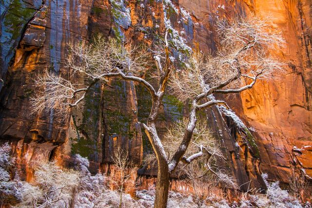Center Stage snowy tree in Zion
