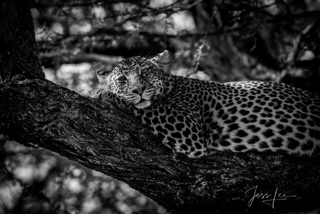black and white, African, wildlife,