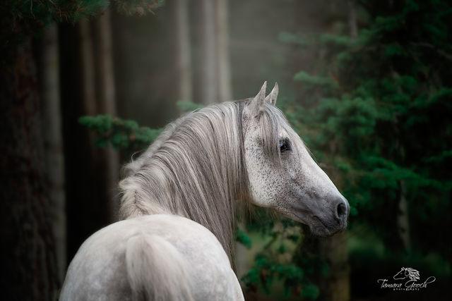 Northwest Spanish Stallion Photo WIPS_1911