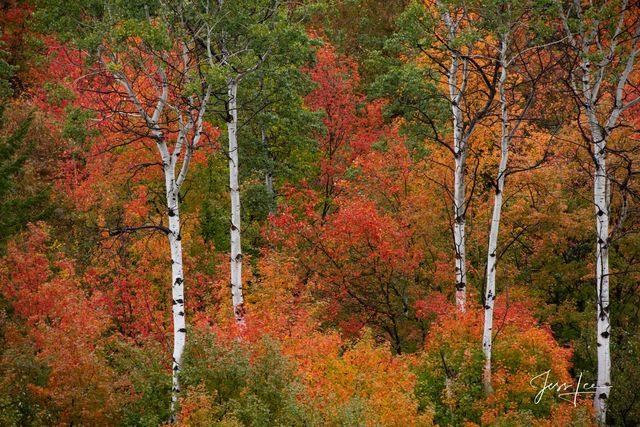 Photography of mountain fall color trees along the Snake River.
