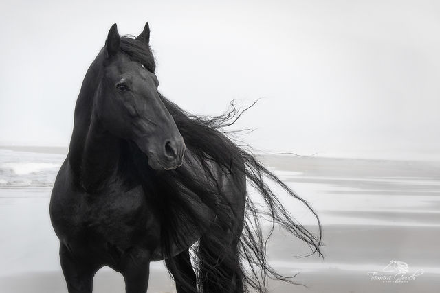 Friesian, Idaho, Idaho equine photographers, assignment, beach, black and white, commercial, commissioned, editorial, equestrian, equine, equine photographer, equine photography, equine photography wo