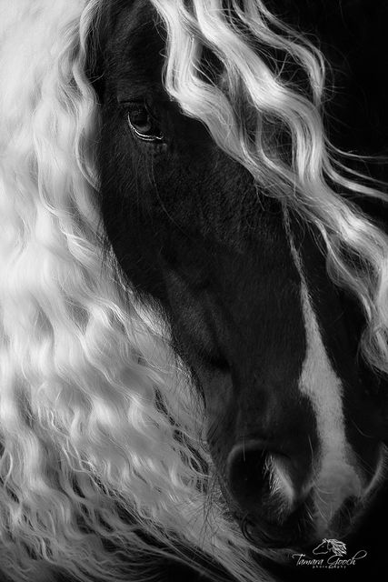 Fine Art Print Horse Portrait Gypsy Vanner