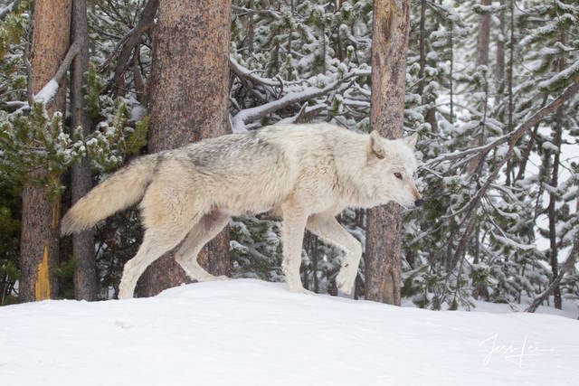 Picture of a white Wolf