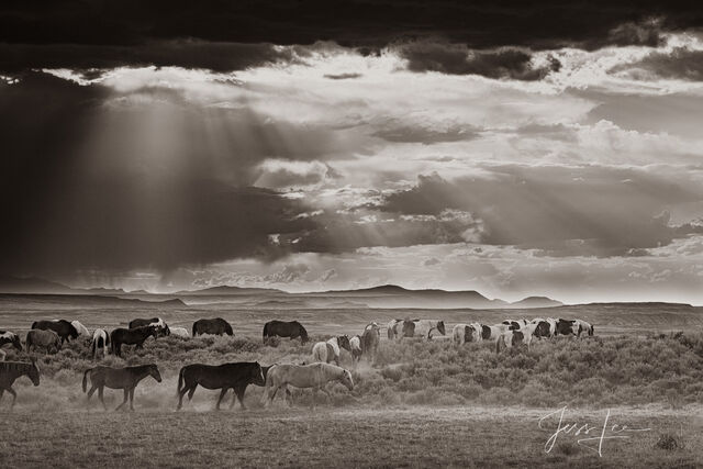 Black and White Wild Horse herd