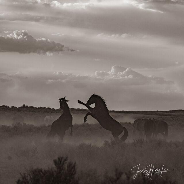 Black and White Wild Stallions