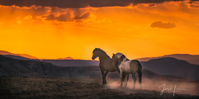 Mustang Stallions at Sunset