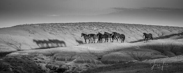 Black & White Wild Horse