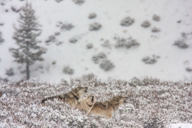 Yellowstone wolves howling in winter