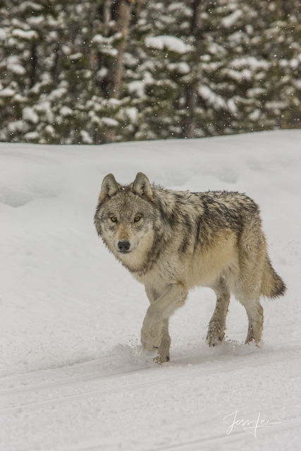 Lone Wolf traveling on the plowed road.