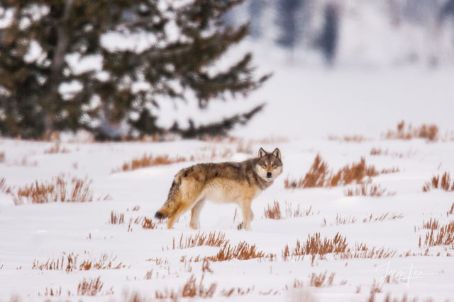 Wolf in Winter Photo