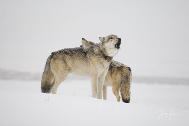 Picture of a Wolves howling