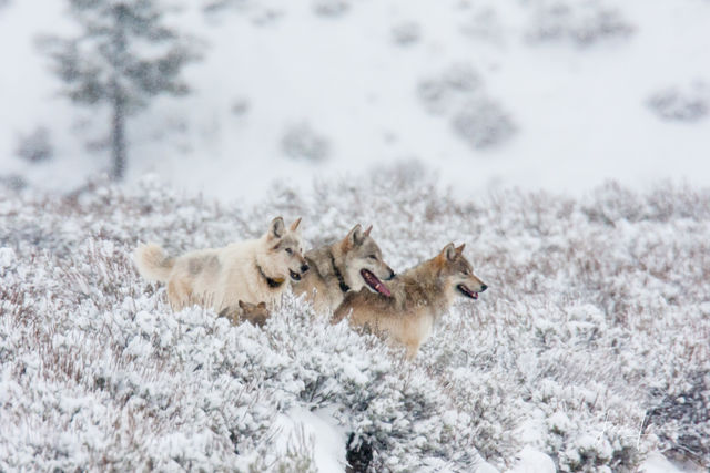 Yellowstone wolves howling christmas