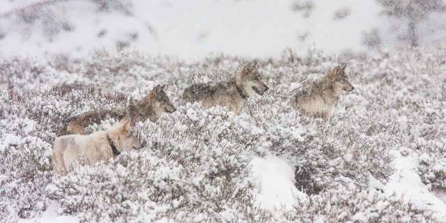 Yellowstone wolves howling