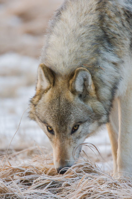 Yellowstone wolf up close