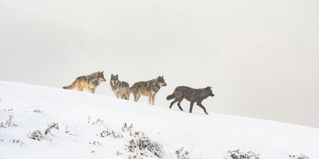 Mollies Pack wolves