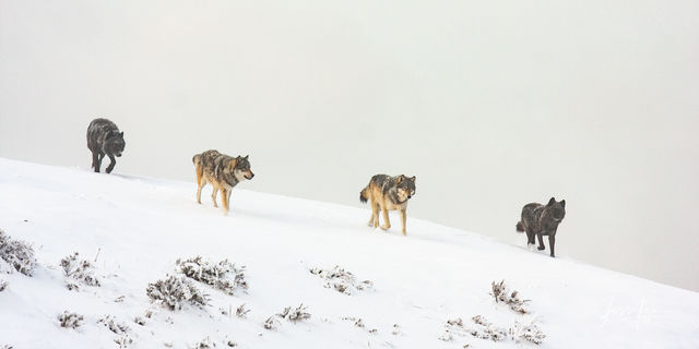 Yellowstone mollie wolves
