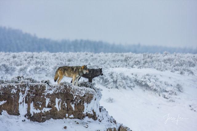 Wolves wintering in Hayden Valley