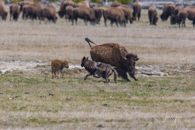 wolf chasing bison calf