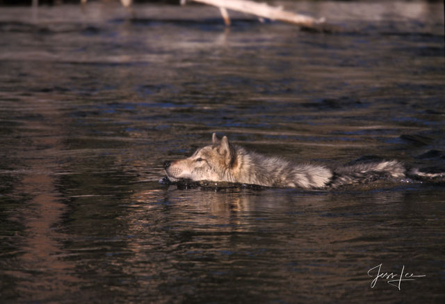 Wolf Firehole River Swim