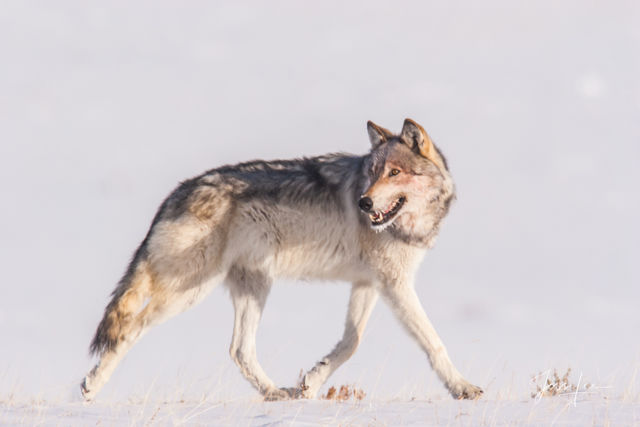 Yellowstone Wolf as in National Geographic